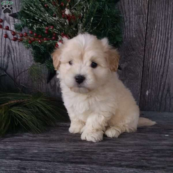 Alex, Havanese Puppy