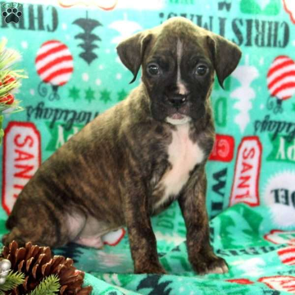 Andy, Boxer Puppy