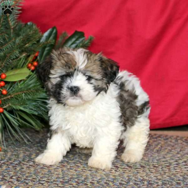 Angel, Havanese Puppy