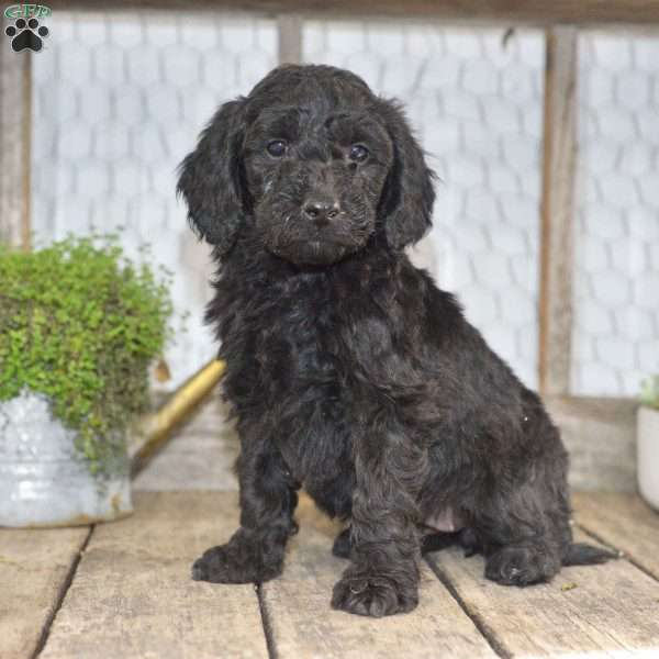 Angie, Mini Goldendoodle Puppy