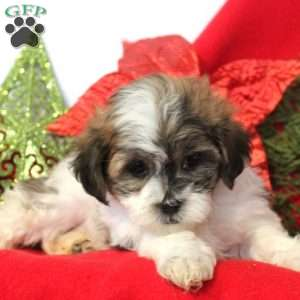Teddy Bear Puppies For Sale Shichon Puppies Greenfield Puppies