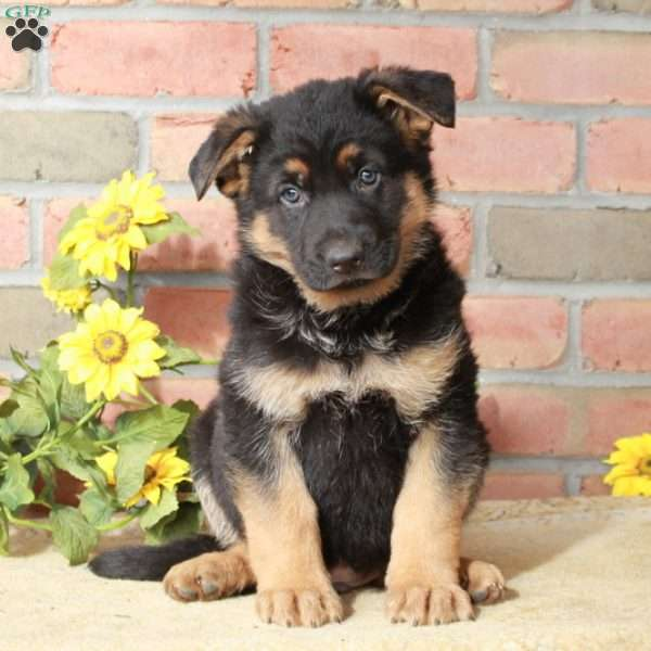 Ash, German Shepherd Puppy