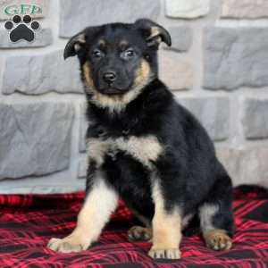 Ashes, German Shepherd Puppy