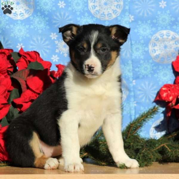 Augusta, Border Collie Mix Puppy