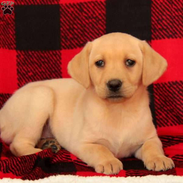 Ava, Yellow Labrador Retriever Puppy