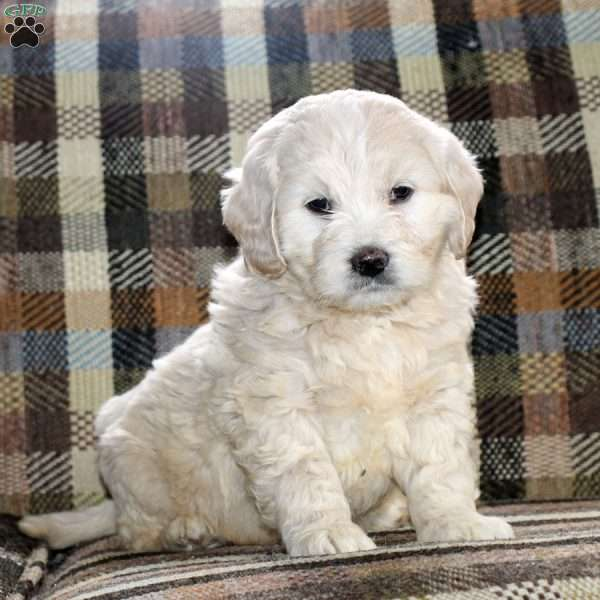 Avery, Mini Goldendoodle Puppy