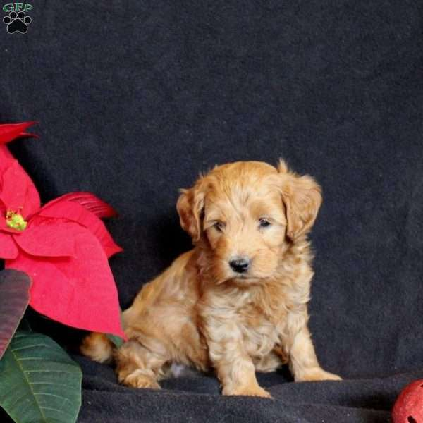 Bambie, Mini Goldendoodle Puppy