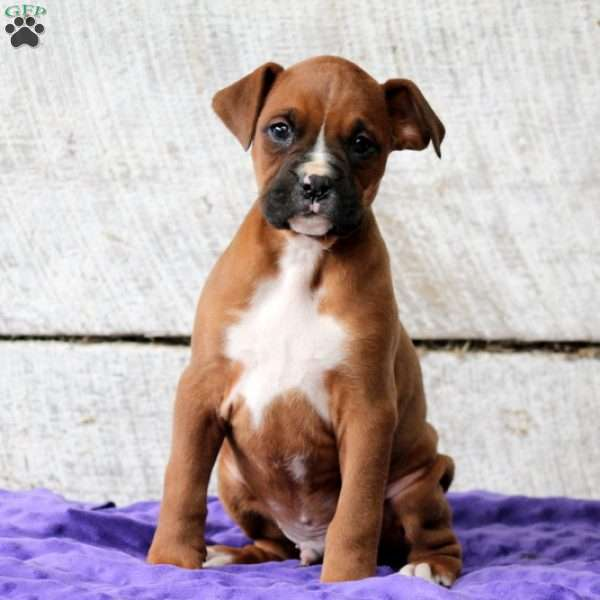 Barkley, Boxer Puppy