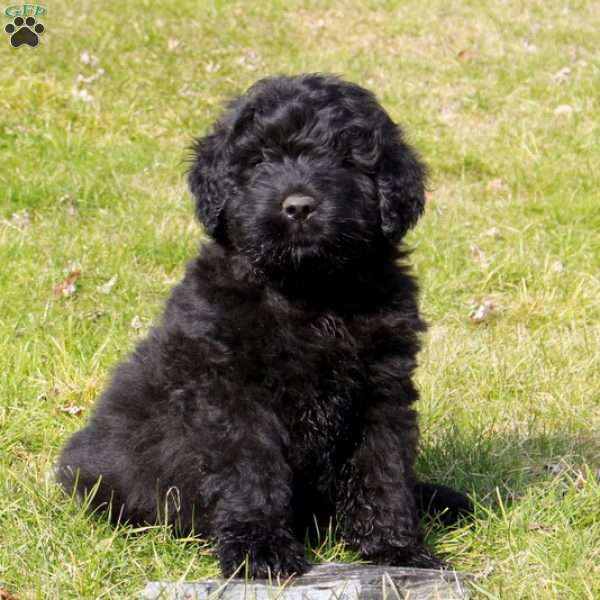 Baxter Bouvier Des Flandres Puppy For