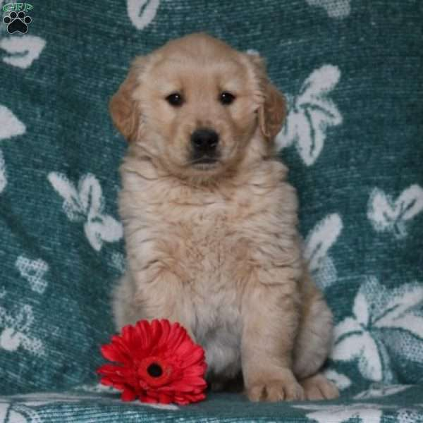 Beckham, Golden Retriever Puppy