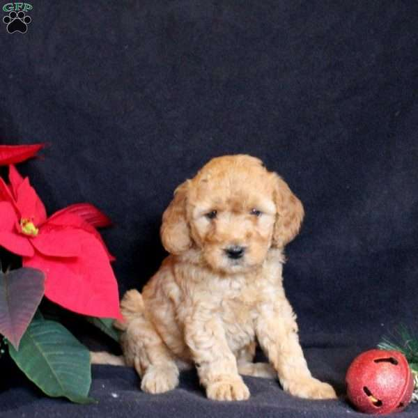 Blessing, Mini Goldendoodle Puppy