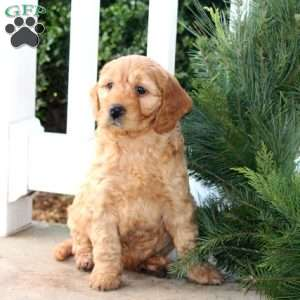 Blizzard, Mini Goldendoodle Puppy