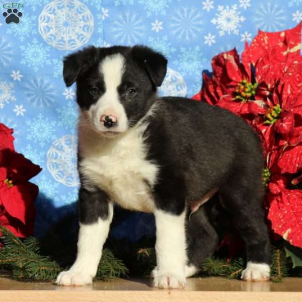 Boulder, Border Collie Mix Puppy