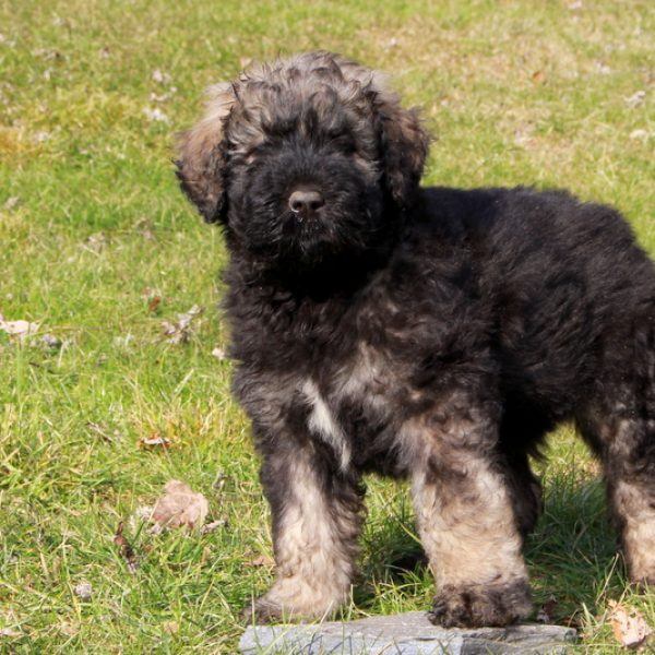 Bouvier Des Flandres Puppies For Sale Greenfield Puppies