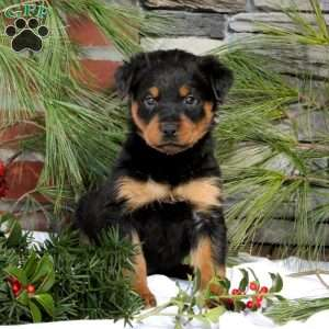 Rottweiler Puppies For Sale Rottweiler Breed Profile Greenfield