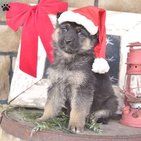 Carl, German Shepherd Puppy