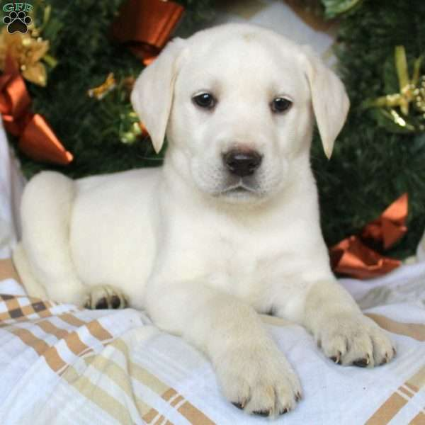 Chase, Yellow Labrador Retriever Puppy