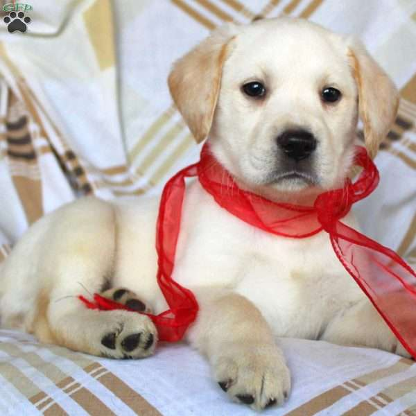 Chelsea, Yellow Labrador Retriever Puppy