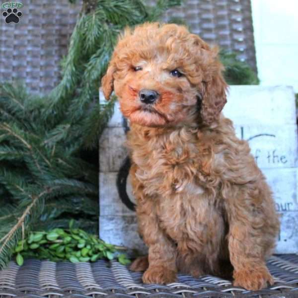 Coco, Mini Goldendoodle Puppy