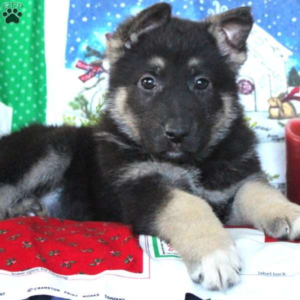 Coco, German Shepherd Puppy