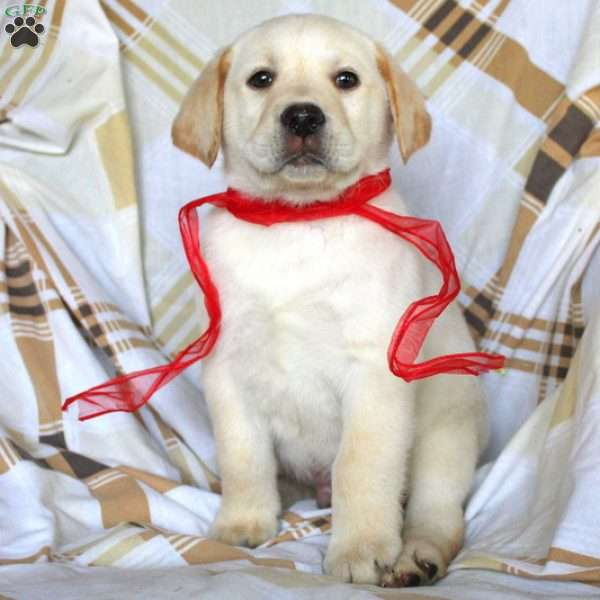 Collin, Yellow Labrador Retriever Puppy