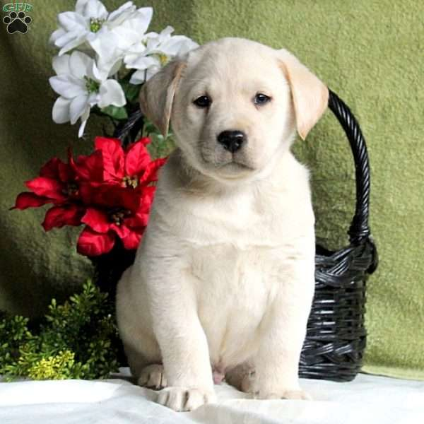 Conner, Yellow Labrador Retriever Puppy