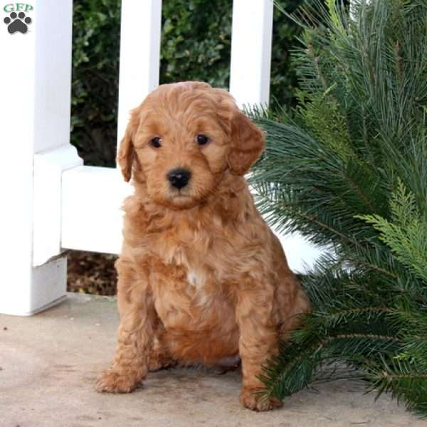 Crystal, Mini Goldendoodle Puppy