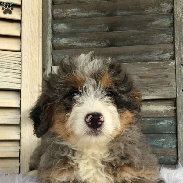 Cuddles, Mini Bernedoodle Puppy