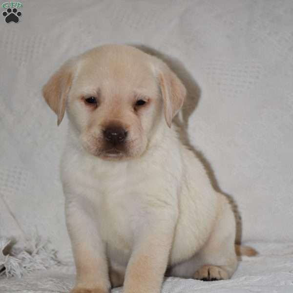 Sunny, Yellow Labrador Retriever Puppy