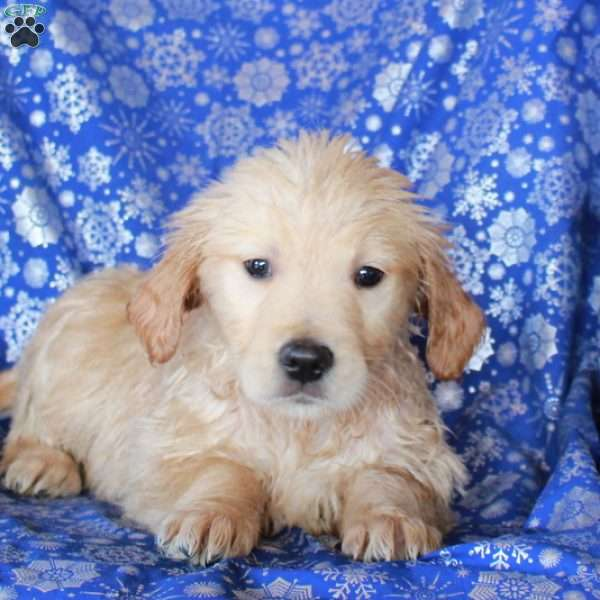 Dakota, Golden Retriever Puppy