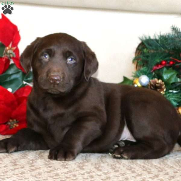 Dandy, Chocolate Labrador Retriever Puppy