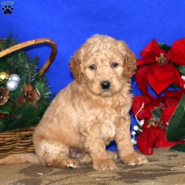 Danielle, Mini Goldendoodle Puppy
