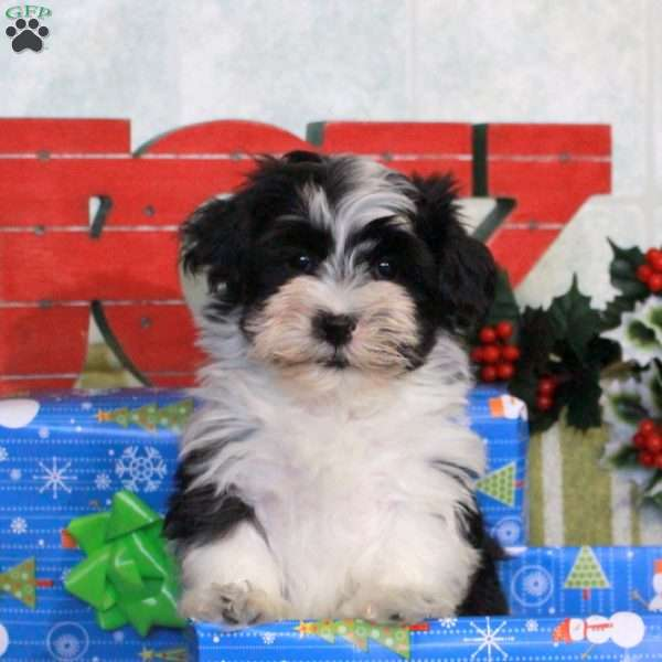 Dasher, Havanese Puppy