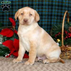 Derek, Yellow Labrador Retriever Puppy
