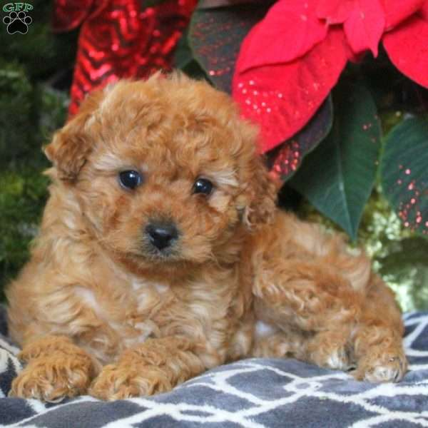 Dixie – F1B, Mini Goldendoodle Puppy