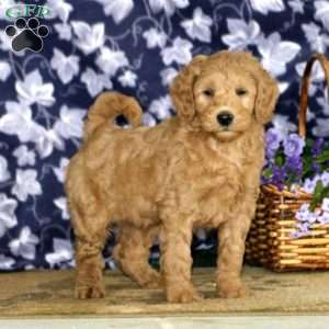 Dolly – F1B, Mini Goldendoodle Puppy