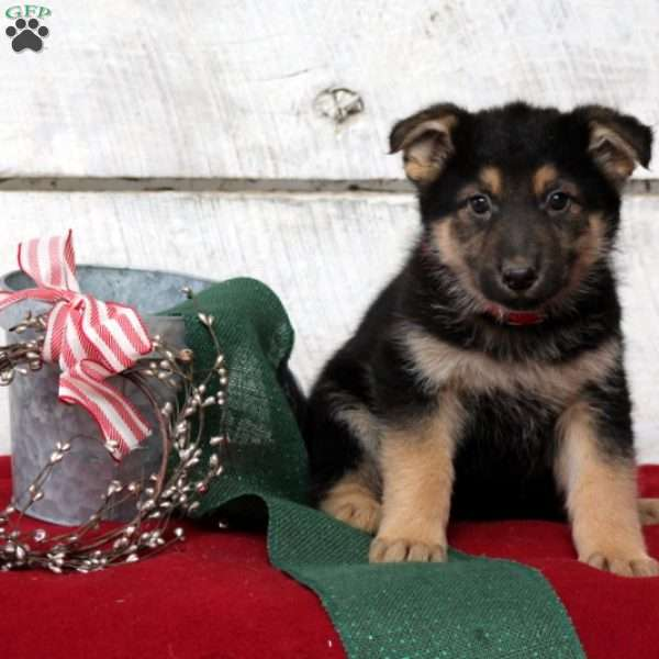 Dorothy, German Shepherd Puppy