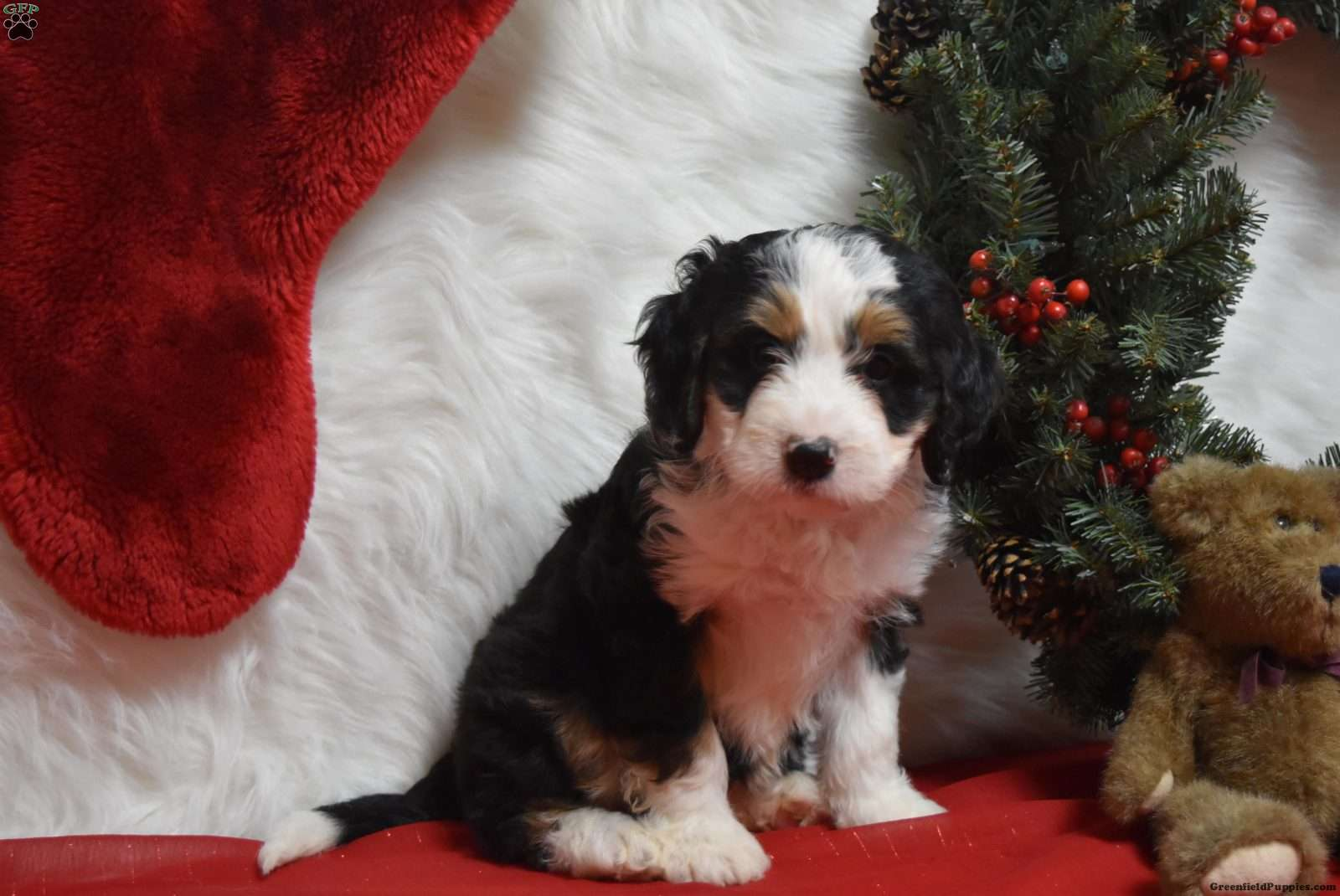 Duke Trained Mini Bernedoodle Puppy For Sale In Pennsylvania