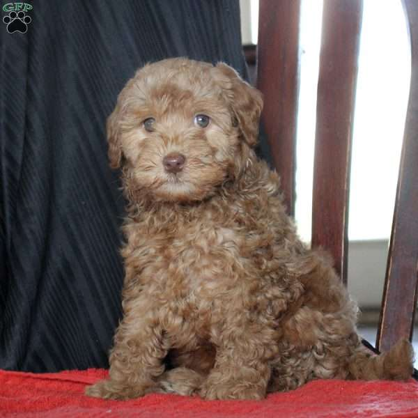 Earl, Mini Goldendoodle Puppy