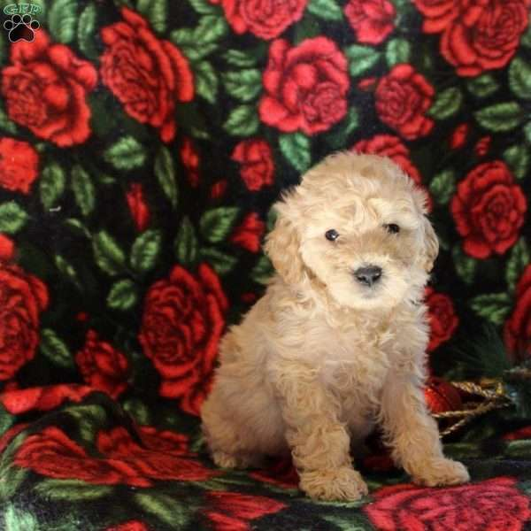 Eddy, Mini Goldendoodle Puppy
