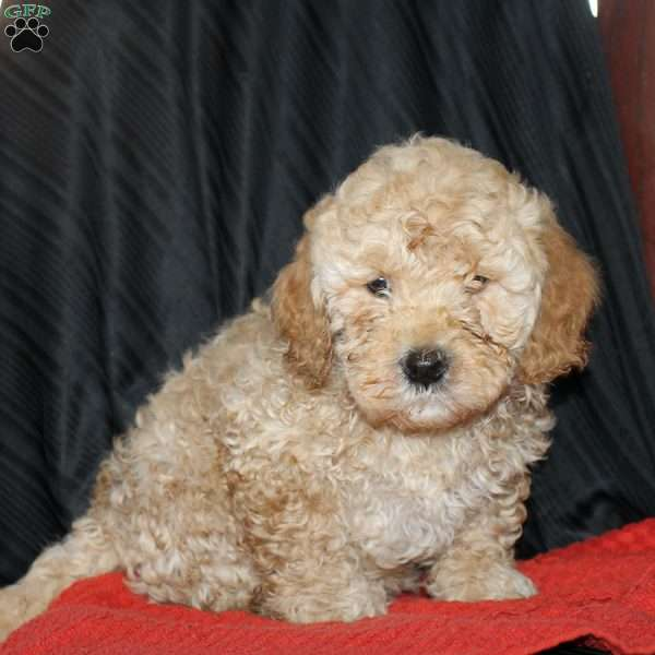 Edith, Mini Goldendoodle Puppy