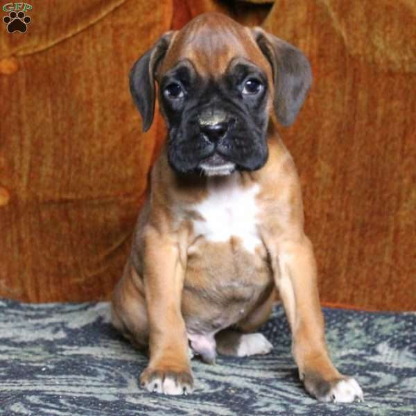 Edward, Boxer Puppy