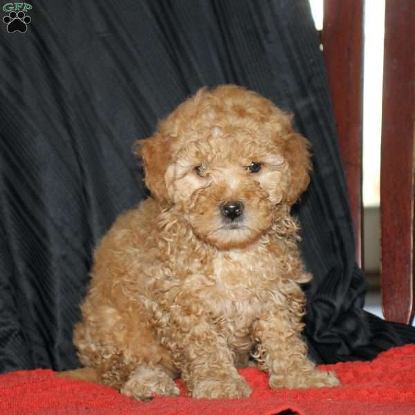 Eileen, Mini Goldendoodle Puppy