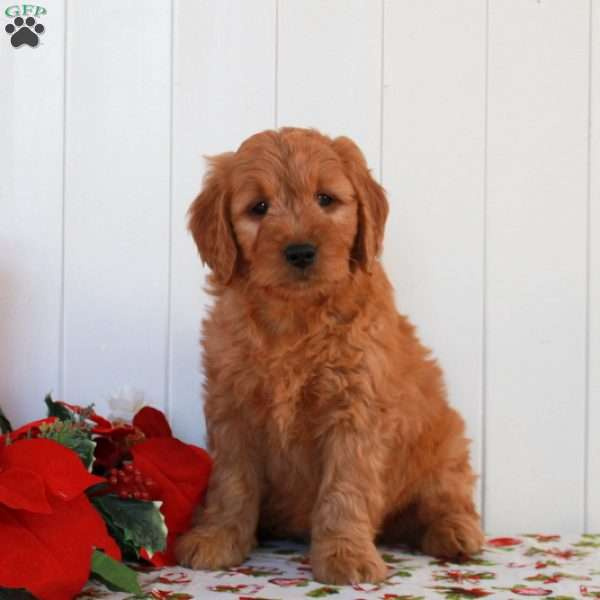 Elmo, Mini Goldendoodle Puppy