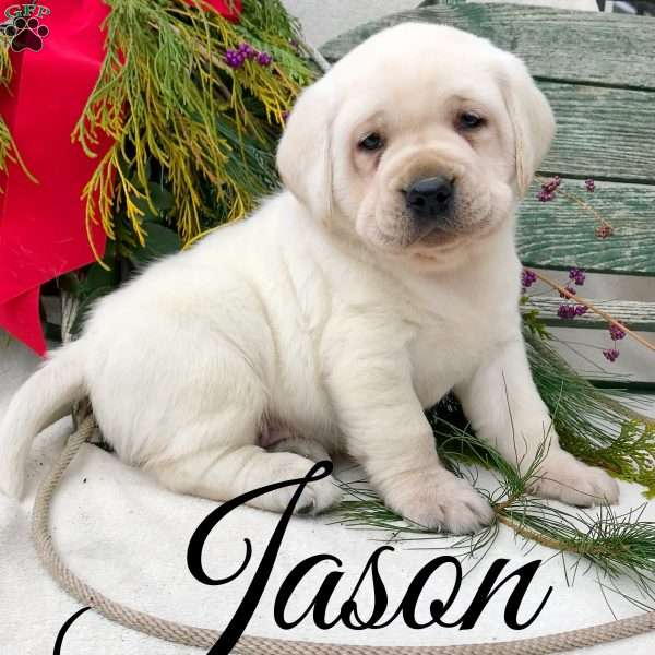 Jason, Yellow Labrador Retriever Puppy