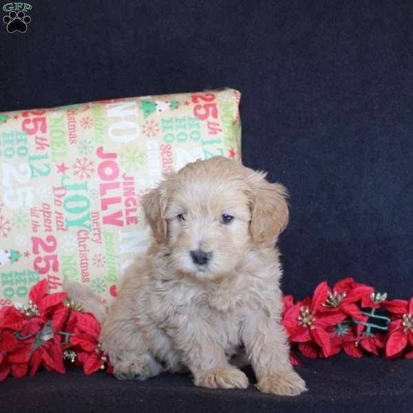Eric, Mini Goldendoodle Puppy
