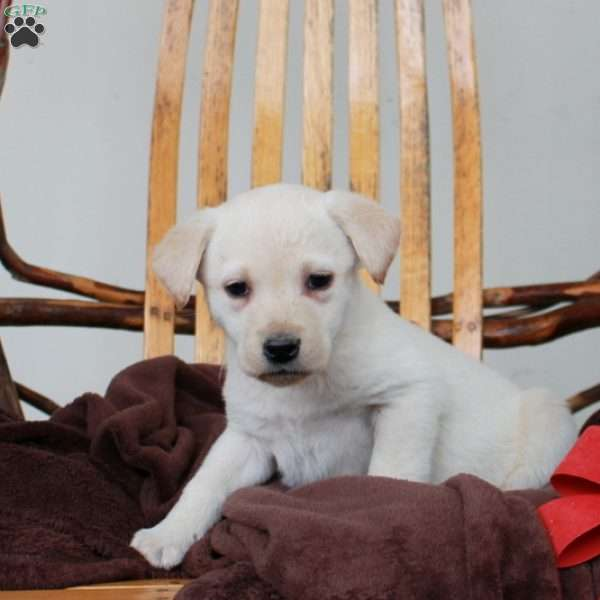 Fannie, Yellow Labrador Retriever Puppy