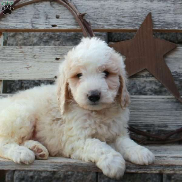 Farley – F1B, Mini Goldendoodle Puppy