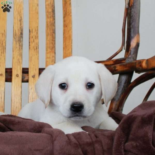 Farrow, Yellow Labrador Retriever Puppy