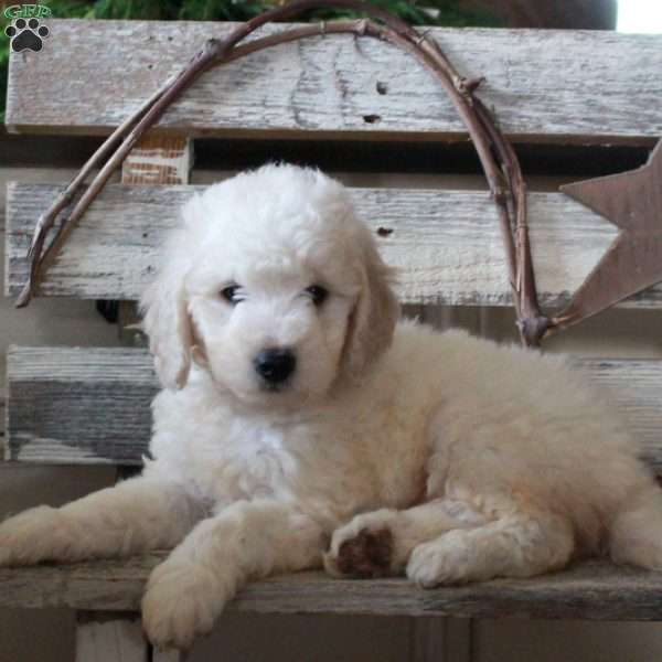 Fawn – F1B, Mini Goldendoodle Puppy